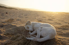 Dog sleeping on sand by sunset Stock Photography