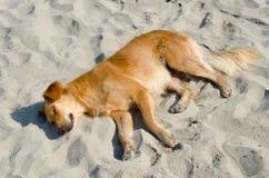 Dog sleeping on sandy beach on sunny summer day Stock Image