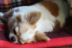 Dog sleeping on seat pad. White and brown female Chihuahua dog sleeping on seat pad Stock Photo