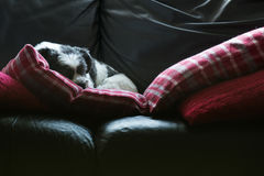 Dog sleeping on settee, cute adorable Lhasa Apso stock image
