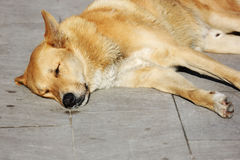 Dog sleeping on the sidewalk. Yellow dog  sleep sleep  sun sleeping  outdoor natural  animal portrait cute Stock Photo