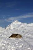 Dog sleeping on ski slope Royalty Free Stock Photography