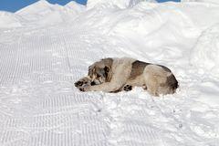 Dog sleeping on snow Royalty Free Stock Photography