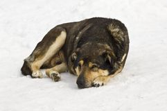 Dog sleeping on snow Royalty Free Stock Photo
