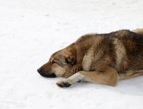 Dog sleeping on snow Stock Image