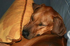 Dog sleeping on sofa Stock Images