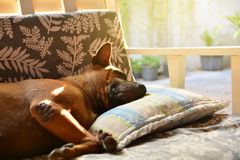 Dog sleeping on sofa and take rest. Stock Photography