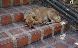 Dog sleeping on the staircase. Bown dog sleeping on the staircase Stock Photo