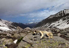 Dog sleeping on stone in mountains Royalty Free Stock Photos