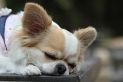 Dog sleeping on the table. White and brown female Chihuahua dog sleeping on the table Stock Photos