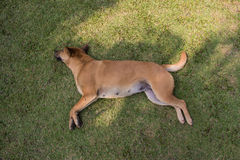 Dog sleeping. The Thai dog sleeping in grass Royalty Free Stock Photo