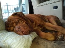 Dog sleeping with tongue out. Dogue de bordeaux sleeping with his tongue out Stock Photo