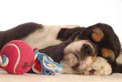 Dog sleeping with toy. American cocker spaniel sleeping with dog toy Royalty Free Stock Images
