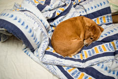 Dog sleeping in an unmade bed Royalty Free Stock Images