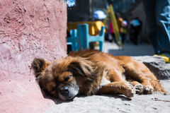 Dog sleeping Royalty Free Stock Image