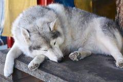 Dog sleeping. On the wooden floor royalty free stock photo