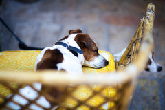 Dog sleeps on the couch in Italy. Dog sleeps on a yellow couch Royalty Free Stock Image