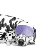 The dog sleeps with his favorite toy. The dog sleeps with his favourite toy Royalty Free Stock Images