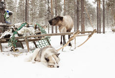 Dog sleeps about sled and deer  . Royalty Free Stock Photos