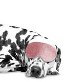 Dog sleeps. he is very tired Royalty Free Stock Image