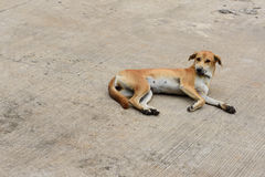 Dog. Sleepy Thai dog on the floor Royalty Free Stock Photography