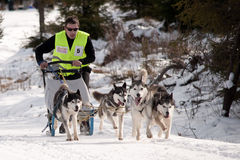 Dog sleigh racing in Transylvania. Four-dog husky pack racing at the first edition of the Belis Cup (Jaunuary 31-February 2, 2014), a dog sleigh competition in royalty free stock images