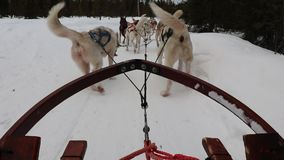 Dog Sleigh stock video