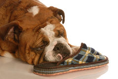 Dog with slipper Royalty Free Stock Images