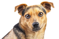 Dog Small Fawn Looking Portrait Closeup Isolated Stock Photo