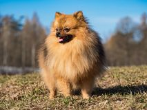 Dog small Spitz walking on the lawn in the spring. Dog small Spitz is walking on the lawn in the spring stock photos