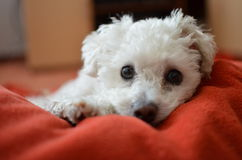 Dog. Small white dog is sleeping on red blanket Royalty Free Stock Image