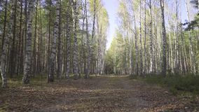 Dog or a small wild animal walks along road in forest, first-person view. Autumn road in a birch grove with fallen stock footage
