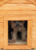 Dog at small wooden house. Small dog (yorkie) at small wooden house stock photos
