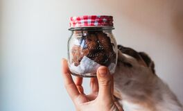 Free Dog Smelling A Jar Of Chocolate Chip Cookies. Stock Images - 181518014