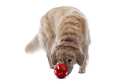 Dog Smelling Ball. A golden retriever dog smelling a red ball, isolated on a white background Royalty Free Stock Photos