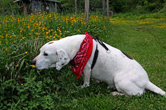 Dog smelling buttercups. Side view of dog smelling buttercups in countryside Royalty Free Stock Photo