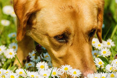 A Dog Smelling Chamomile Flowers. A Dog Smelling Field Chamomile Royalty Free Stock Images