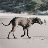 Dog smelling fish. Big great Dane dog sniffing and following a white fish on a fishing line; low saturation image; catch of the day concept Royalty Free Stock Photo