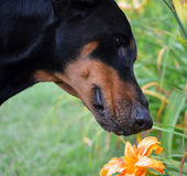 Dog smelling flower. stock photography