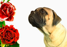 Dog smelling flowers Royalty Free Stock Images