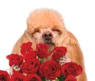 Dog smelling flowers. Stock Image