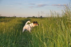 Dog smelling trace. Cute smooth fox terrier smelling trace on a field Royalty Free Stock Photos