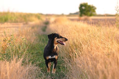 Dog smelling trace Royalty Free Stock Image