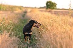 Dog smelling trace Royalty Free Stock Photo