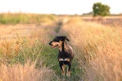 Dog smelling trace Stock Image