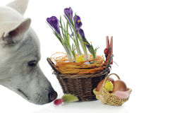 The dog smells Baskets with crocuses Royalty Free Stock Photo