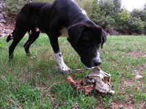 A dog smells a goats skull. At the forests Royalty Free Stock Photo