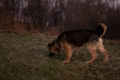A dog tracking something stock images