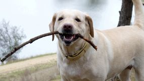 Dog smile Royalty Free Stock Images