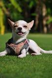 Dog Smile. Happy Dog Smile on green grass Royalty Free Stock Photos